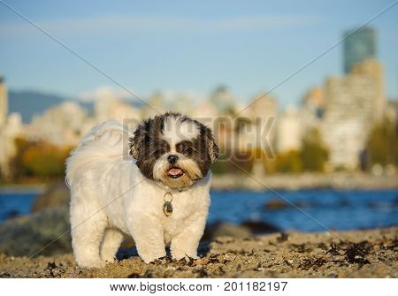 Shih Tzu dog outdoor portrait standing on beach with city in background