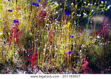 Drosera indica Linn.flowe beautiful bokeh with Utricularia bifida in the Mukdahan Nation Park Thailand.