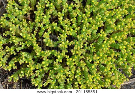 A perennial plant cleansing acrid grows in the form of a background.