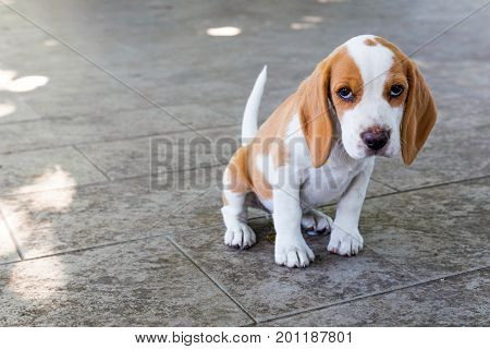 Small cute beagle puppy dog. beagle puppy dog