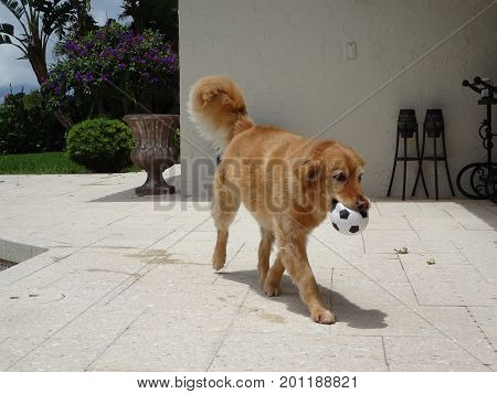 Dog Plays Fetch In The Yard On A Hot Day
