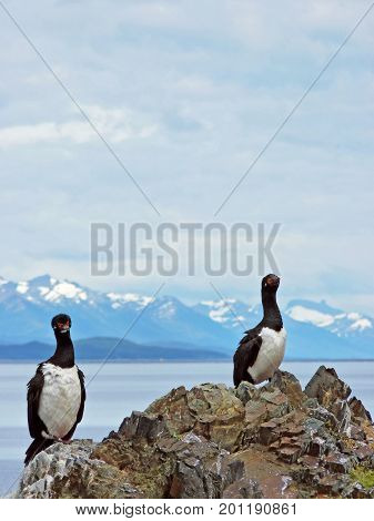 A couple of Magellanic cormorants spotted on a rock in H Island Rock shag or Phalacrocorax magellanicus The picture was taken in Ushuaia Argentina
