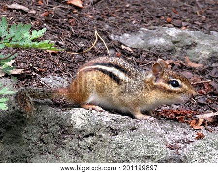 Beautiful chipmunk in High Park of Toronto Canada August 23 2017
