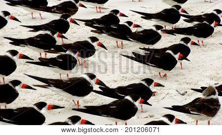 Flock of tern birds walking along a beach in Naples, Florida.