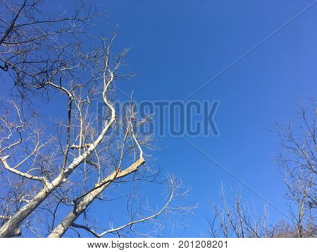 Winter Trees And Blue Sky