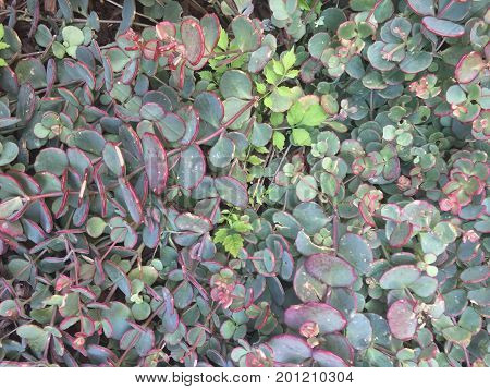 Succulent Plants In Large Patch Of Vines With Red And Green Waxy Leaves