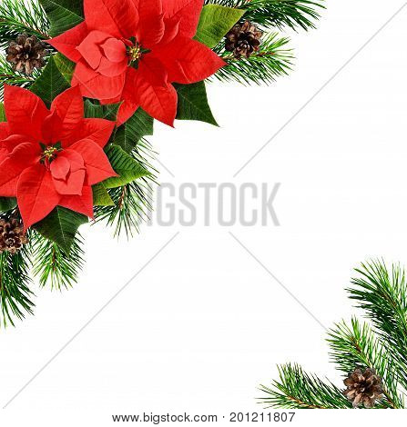 Red poinsettia flowers and Christmas tree branches corner arrangement isolated on white background. Flat lay. Top view.