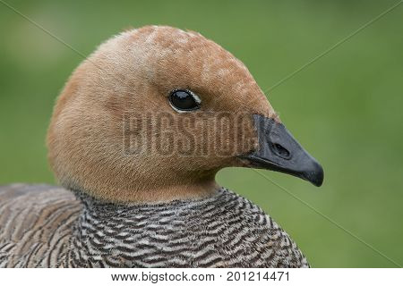 close up head profile portrait of a ruddy headed goose looking to the right