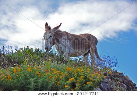 single mule on greek island Santorini, greece