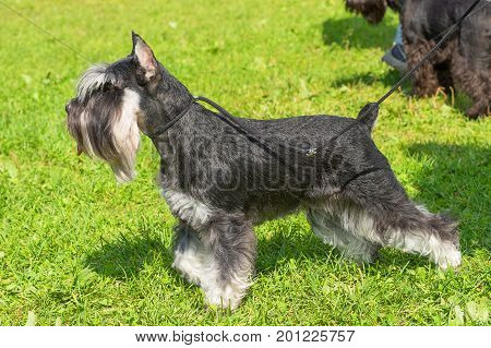 Schnauzer Space under the text. 2018 year of the dog in the eastern calendar. Concept: parodist dogs, dog friend of man, true friends, rescuers.