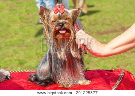 Grooming dogs professional master. Dog show. 2018 year of the dog in the eastern calendar Concept: parodist dogs, dog friend of man, true friends, rescuers.
