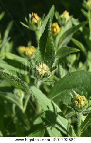 Captivating Budding Black Eyed Susan in a Garden