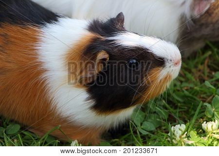 Brown black and white guinea pig in the grass of a garden