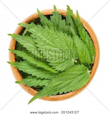 Common nettle leaves in wooden bowl. Urtica dioica. Stinging nettle or nettle leaf. Herb with hypodermic needles. Source of medicine, food and fibre. Macro food photo close up from above over white.