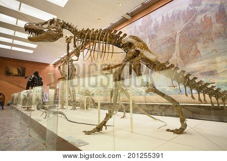 MOSCOW RUSSIA - AUGUST 20 2017: Skeletons of dinosaurs at Paleontological Museum. Skeleton of tarbosaurus is in foreground.