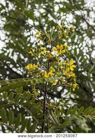 Yellow flower of Thai Copper Pod or Siamese senna or Siamese cassia or Cassod tree and green leaf on top tree in the garden.