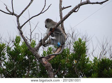 vervet monkey with blue scrotum looking away