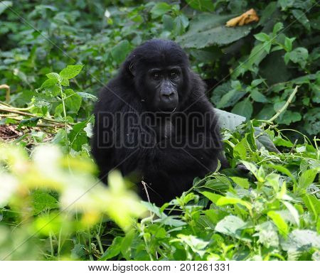 young mountain gorilla in the bushes, watching us carefully.