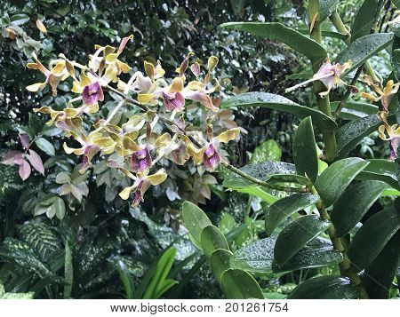 Dendrobium Barack and Michelle Obama hybrid orchid flower
