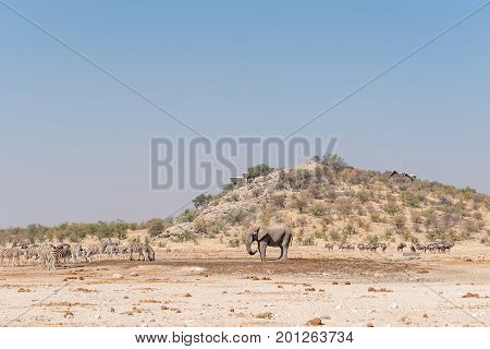 ETOSHA NATIONAL PARK NAMIBIA - JUNE 27 2017: An african elephant Burchells zebras blue wildebeest and springbok at the Dolomite waterhole with the Dolomite Rest Camp in the back on the hill