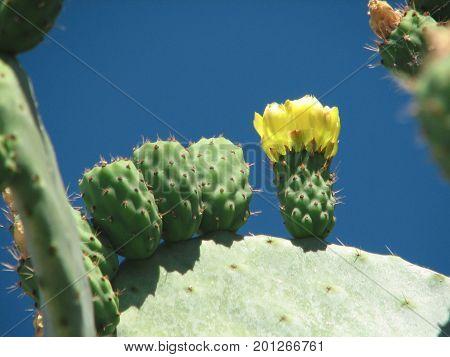 The blossoming cactus opuncia on Mallorca, summer