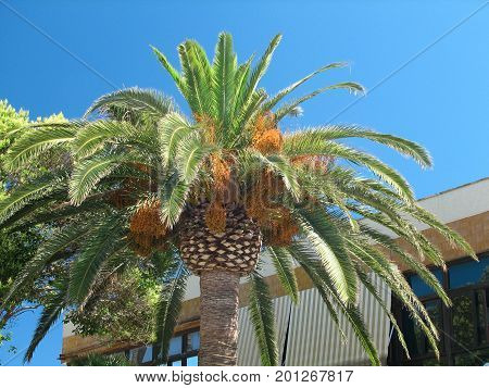 Palms growing in the bay of Calla Mallorca
