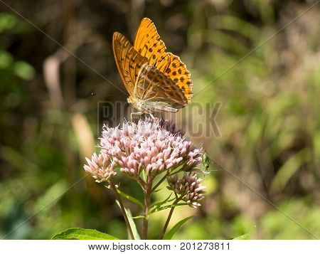 Argynnis one of several groups known as fritillaries is the genus of butterflies in the family Nymphalidae commonly found in Europe and Asia.