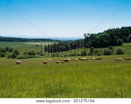 Grazing a herd of cows Czech landscape