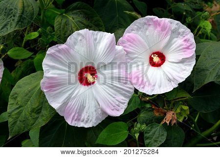 Vibrant pink and white jumbo Hibiscus flowers in a garden