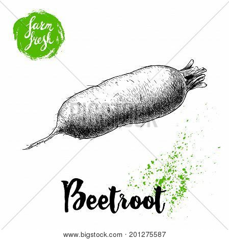 Hand drawn oblong beet root isolated on white background. Sketch vintage vector illustration. Farm fresh vegetable poster.