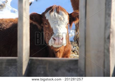 Cow looking out between struts of fence attached to a feeding trough at a transfer-holding pen