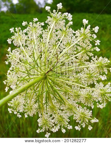 Intricate pattern from the back of Queen Anne's Lace
