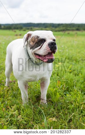 white American Bulldog on the field, on green grass. The American bulldog is a stocky, well built, strong-looking dog, with a large head and a muscular build.