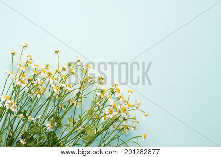 Camomiles on a blue background place for an inscription