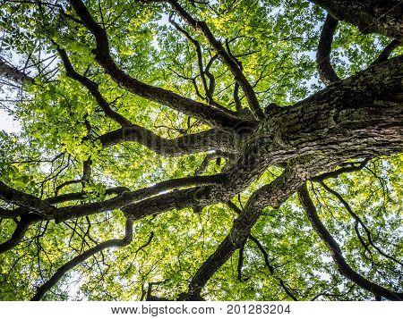 Tree crown of a huge tree in the spring