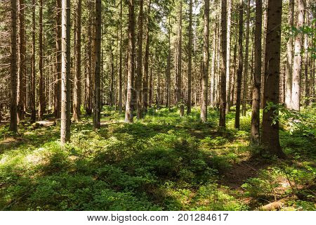 Summer Landscape Of Young Green Forest