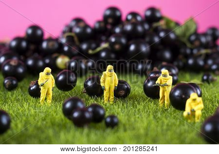 Four toy people in hazmat suits are checking black currant. GMO, chemical or radioactive polluted food concept.