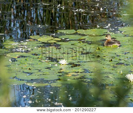 Immature Pied-billed Grebe pauses while preening among the lily pads
