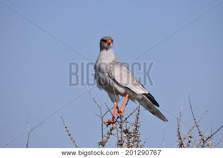 Pale Chanting Goshawk in South Africa, sitting on a branch