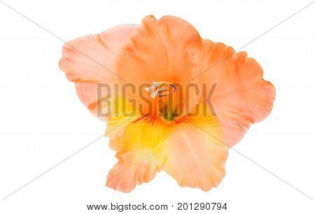 Beautiful gladiolus nature flower on white background