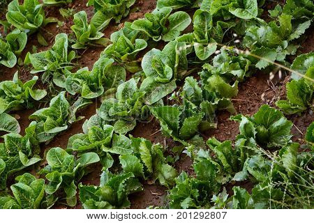 A cultivated garden to lettuce and endive