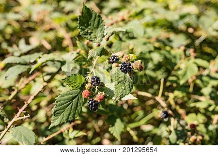 Wild Organic Blackberries Growing on Blackberry Bush. Wild blackberry branch in forest. Branch with black riping bramble berries in summer. Black fruit of blackberry.