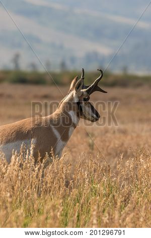a nice pronghorn antelope buck in Wyoming