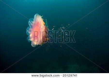 Jellyfish Under Water In Sea Of Japan