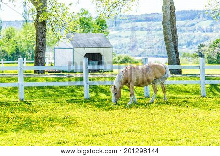Farm summer landscape with horse in paddock field of bright yellow dandelion flowers and white fence