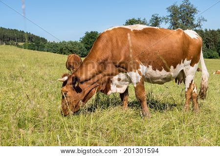 spotted cattle eats on a pasture - ruminant cows