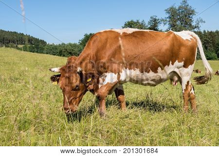 Cows eat on the pasture - ruminants