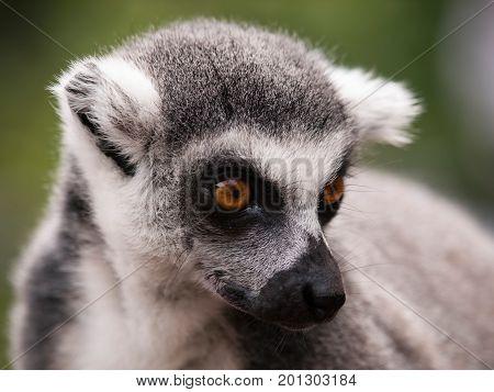 Portrait of Ring-tailed lemur from Madagascar - Lemur catta