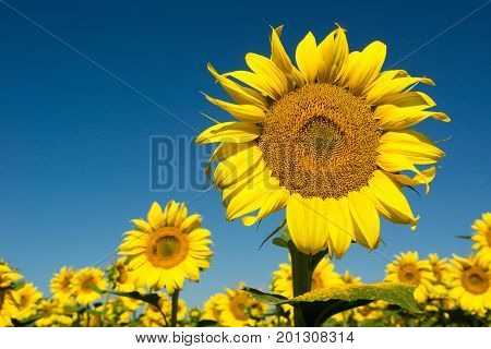 Sunflowers closeup on the blue sky background