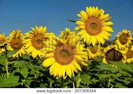 Sunflower closeup on the blue sky background